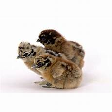 Silkie Chicken Color Chart Silkie Chicken Colors In Pictures Hubpages