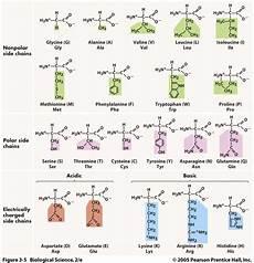 Amino Acid Benefits Chart Codon Charts Amp Amino Acids Ap Biology