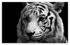 black and white tiger iphone wallpaper tiger black and white 4k hd desktop wallpaper for 4k ultra