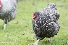 galline da cortile orpington gallina ornamentale dal voluminoso e soffice