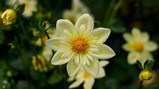 yellow flower wallpaper hd free dahlia yellow flowers high quality flower wallpaper for