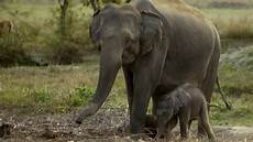 Malvorlage Indischer Elefant Indischer Elefant Bedrohte