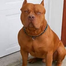 Designer Pitbulls Cost Pitt Bull Pic Goldenacresdogs Com