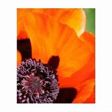 Lazar Design Discount Code Essence Of Poppy Photograph By Andrea Lazar