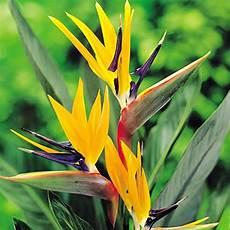 fiore uccelli paradiso strelitzia pianta uccello paradiso