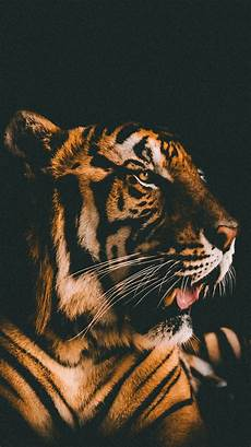 tiger wallpaper iphone 7 plus tiger front view black background iphone x 8 7 6 5 4 3gs