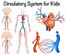 Circulatory System Organs Circulatory System For Kids Download Free Vectors