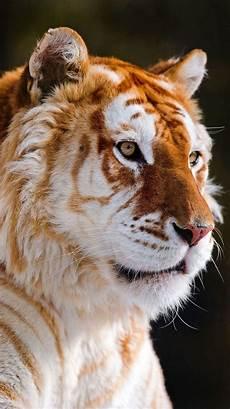 tiger wallpaper iphone 7 iphone ios 7 wallpaper for tigre tigers