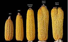 Corn Varieties Discovery Of New Stem Cell Pathway Indicates Route To Much