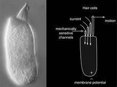 Hair Cells Researchers Discover Molecular Mechanism For Stabilizing
