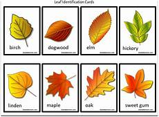 Tree Leaves Chart Printable Leaf Identification Chart And Cards Set