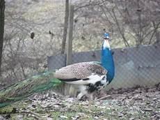 animale da cortile home page animalicortile