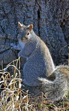 Where Do Squirrels Live What Do Squirrels Do In Winter Lincoln Park Zoo