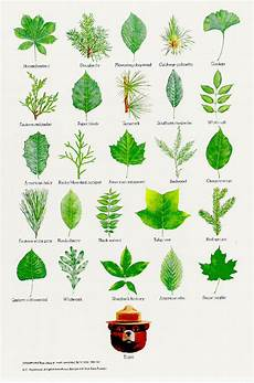 Tree Leaves Chart How To Identify Trees By Leaves 1 1jajkc8 How I Met You