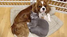 russian blue kitten massages cavalier king charles spaniel