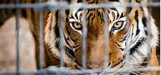 tigre in gabbia commentary don t let a stop at a roadside zoo spoil your