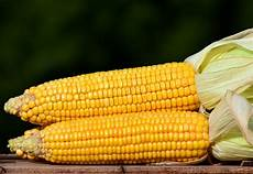 What Is Corn Made Of Maize Corn Zea Mays World Crops Database Cereals
