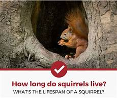 Where Do Squirrels Live How Long Do Squirrels Live It Surprisingly Varies