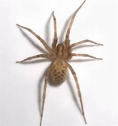 Light Brown Spider Florida Light Brown Spider Tegenaria Domestica Bugguide Net