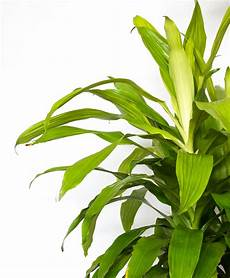 Dracaena Low Light Buy Large Potted Dracaena Limelight Indoor Plant Bloomscape