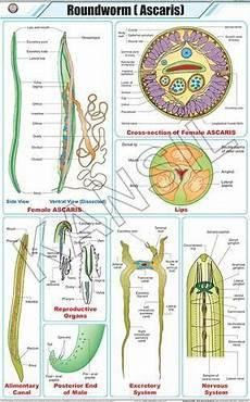 Zoology Chart Zoology Charts Roundworm Ascaris For Zoology Chart