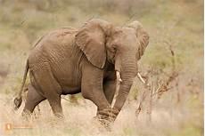 Malvorlage Afrikanischer Elefant Afrikanischer Elefant Wildlife Media Die Naturbildagentur
