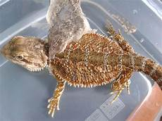 Bearded Dragon Color Chart Morph And Color Of My Beardie Bearded Dragon Org