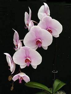Light Pink Phalaenopsis Orchid Phalaenopsis Orchid Care