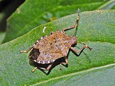 Brown Marmorated Stink Bug Brown Marmorated Stink Bug Wikipedia