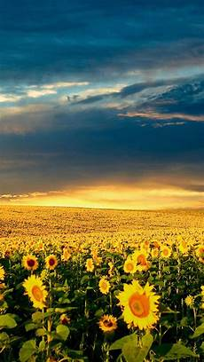Iphone Wallpaper Field Nature by Nature Vast Sunflower Field Landscape Iphone 5s