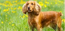 American Cocker Spaniel Size Chart Cocker Spaniel How To Know If This Breed Is Right For You