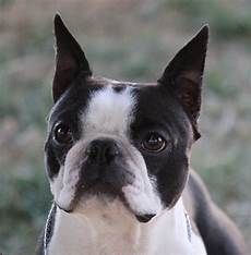 Boston Terrier Colors Chart Correct Boston Terrier Expression Standard Colors
