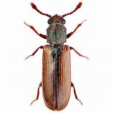 Powderpost Beetle Identifying Beetle Species Watertight Homes