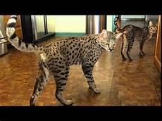 Bengal Cat Size Chart Savannah Cat Size Comparison Youtube