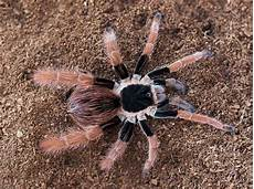 Tarantula Chart 10 Largest Spiders In The World Largest Org