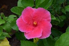 fiore ibisco significato significato ibisco significato dei fiori ibisco