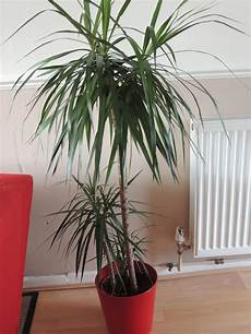 Dracaena Low Light 14 Houseplants That Thrive In Low Light