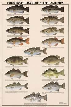 Florida Fish Id Chart Freshwater Bass Of North America Identification Chart