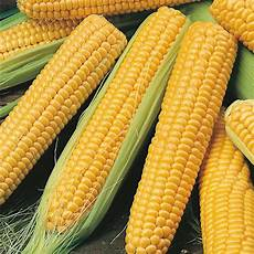 Corn Varieties Sweet Corn Miracle F1 Seeds From Mr Fothergill S Seeds And