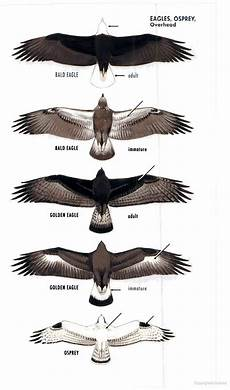 Bird Wingspan Chart Birds Of Prey