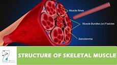 Skeletal Muscle Structure Structure Of Skeletal Muscle Youtube