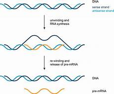 Transcription Biology Transcription Translation And Replication