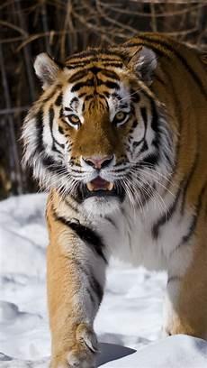 tiger wallpaper iphone 7 siberian tiger winter iphone x 8 7 6 5 4 3gs wallpaper
