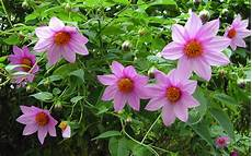 flower wallpaper hd for pc dalia tenuicaulis beautiful pink flowers hd desktop