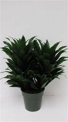 Dracaena Low Light Warneck Dracaena Dracaena Deremensis Warneckii