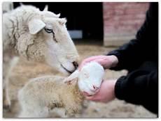 Newborn Lamb Newborn Lamb S Blog