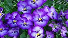 best flower desktop wallpaper pansies vioetovi flowers desktop wallpaper hd free