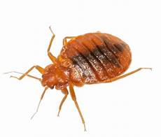 bed bug png images transparent free pngmart