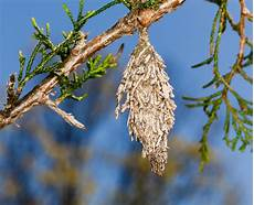 How To Treat Bagworms A B Pest Control And Insulation Bagworms Vs Webworms