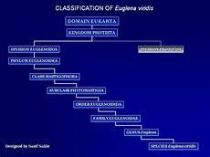 Euglena Classification Chart Euglena Introduction Amp Classification